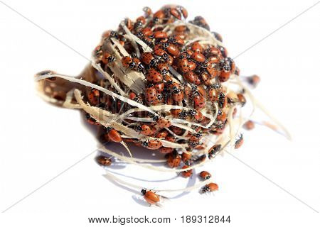 Lady Bug aka Coccinellidae.  Beautiful Red with black spots Lady Bugs. isolated on white.