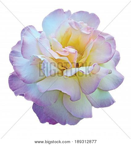 Flower of rose Gloria Dei isolated on white