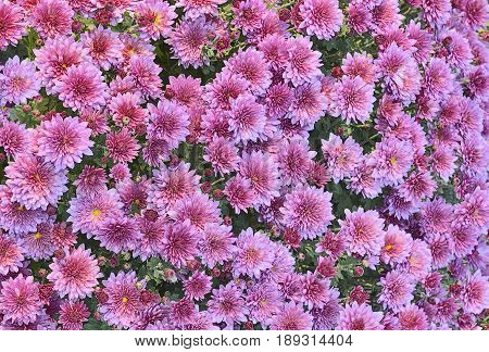 Background from a carpet of beautiful pink autumnal chrysanthemums