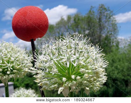 White Agapanthus and red ball in Humber Bay Park on bank of the Lake Ontario in Toronto Canada June 1 2017