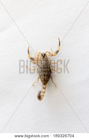 Close Up Brown Scorpion on white background.