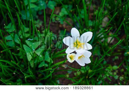Beautiful Rain Lily Flower. Zephyranthes Lily ,fairy Lily, Little Witches.