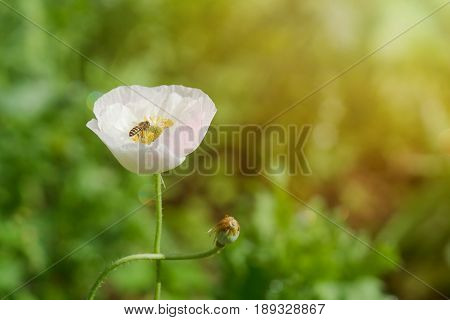 Poppy Flower With A Pollinating Bee In Garden.