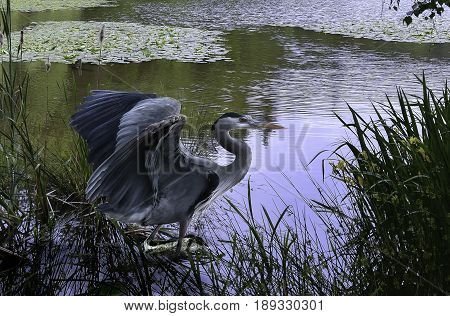 Beautiful Great Blue Heron  Great Blue Heron in full mating display with blue sky reflections in quiet pond.