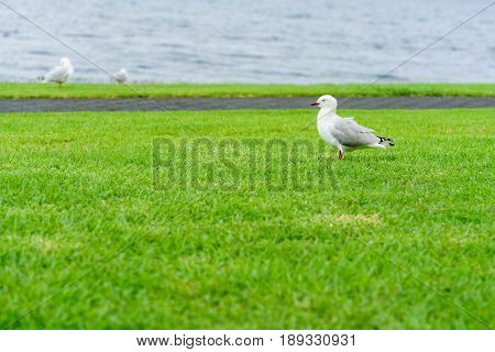 Red-billed gull standing on grasses at Lake Taupo North Island of New Zealand