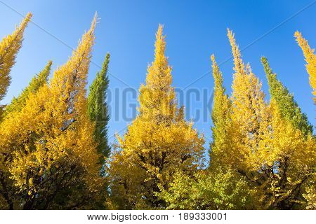 Leaves on tree is color change from green to yellow with blue sky background in autumn at Meiji Jingu Gaien that has beautiful Ginkgo Tokyo Japan. Concept autumn picture use for nature background