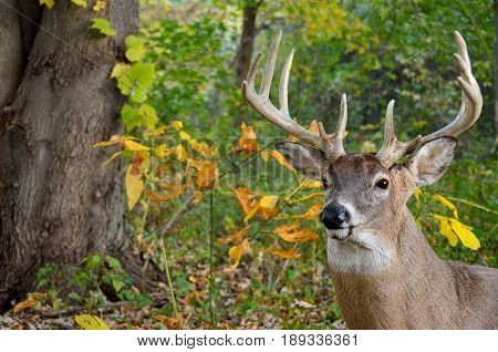whitetail male deer with large antlers in autumn woods
