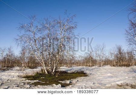 Birch Grove and blue sky in early spring