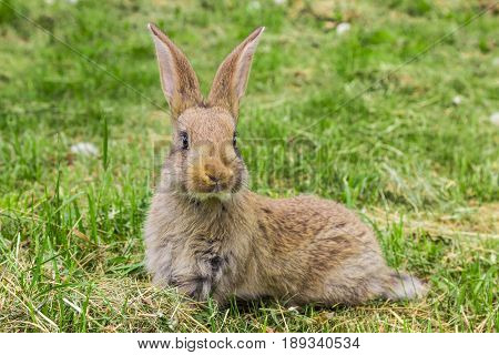 curious Bunny with protruding ears sitting on grass