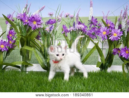 Portrait of one small fluffy white kitten wearing a red collar standing in green grass looking to viewers right white picket fence background with tall purple flowers.