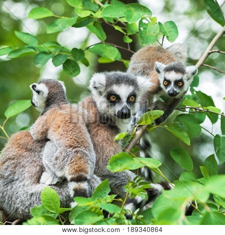 Portrait of  lemur katta (Lemur catta) on a tree with two cubs