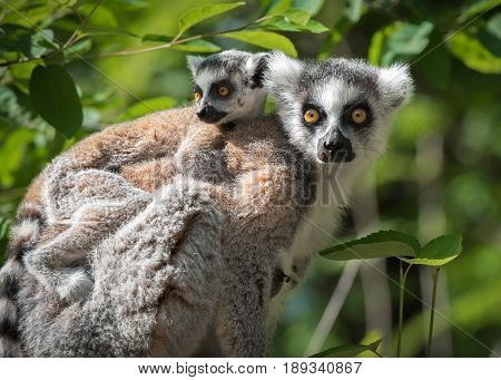 Portrait of adult lemur katta (Lemur catta) with a cub on his back