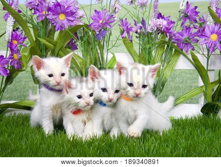 Portrait of four small fluffy white kittens wearing tiny collars sitting in green grass looking to viewers right white picket fence with tall purple flowers background