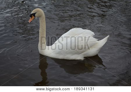 Water dripping from the bill of a swimming white swan.