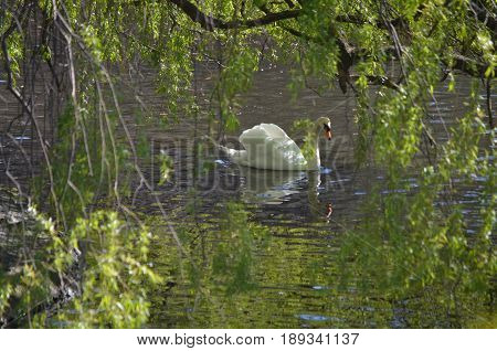 Reflections of a swimming swan through the trees.