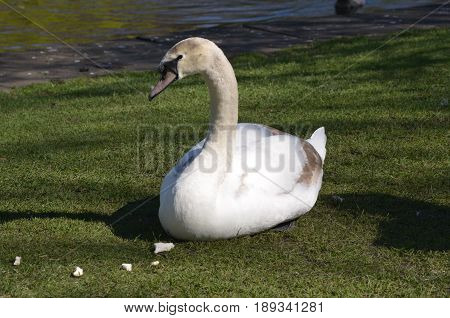 White swan with chunks of white bread in grass.