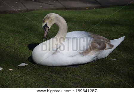Sleeping white swan with his eyes closed on a grassy area.