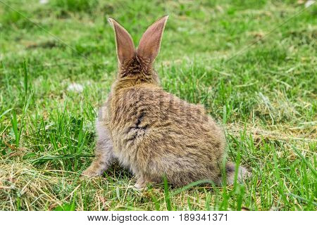 view of grey rabbit from behind on grass