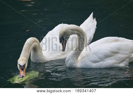 Pair of swans eating vegetation in a pond.