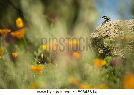 Wall lizard on rock facing a flower garden