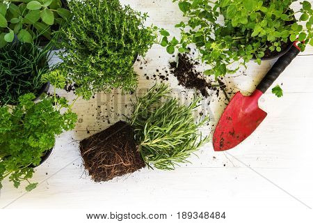 Plants in pots for the herb garden and a red shovel on white painted wood corner background with copy space top view from above