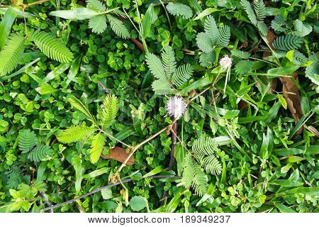 Shameplant Or Mimosa Pudica Growing Between Grass