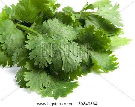 Cilantro Herb Leaf Coriander a Fresh Vegetable Seasoning Spice Isolated on White Background