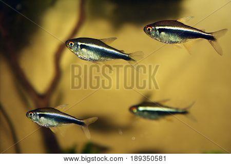 group of black neon tetra fish in aquarium