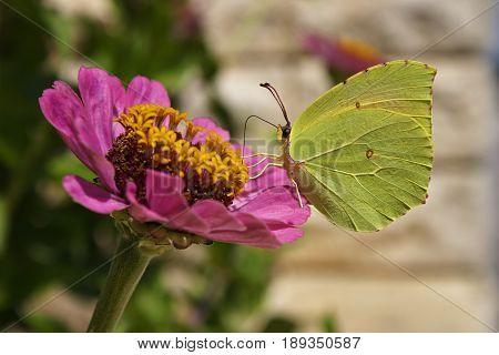Gonepteryx rhamni on a pink flower, sun day