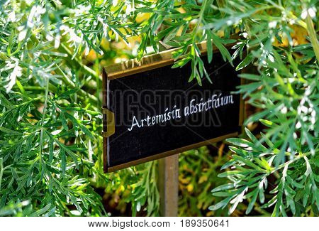 Wormwood (Artemisia absinthium) also known as absinthe wormwood, green ginger or grand wormwood