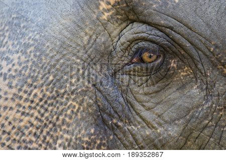 Asian elephant eyes are looking in Thailand close up