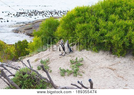 The African Penguin Colony On Cape Peninsula At Boulders Beach, Simon's Town, Western Cape Province,