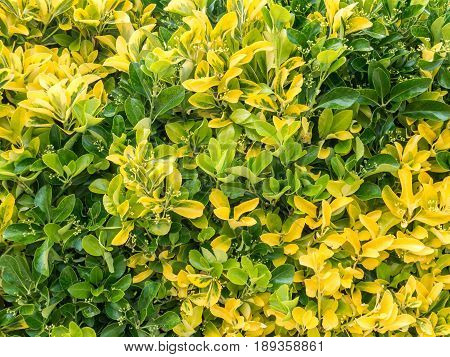 Variegated green and yellow golden euonymous bush hedge