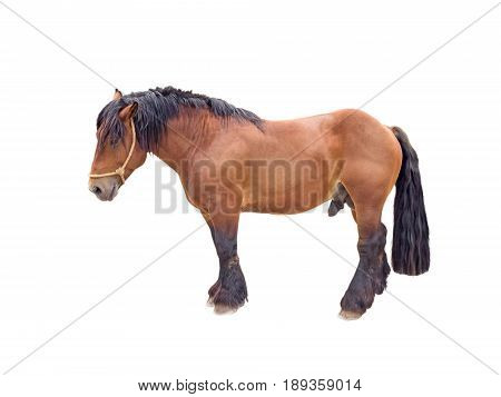 Draft brown stallion horse isolated on white