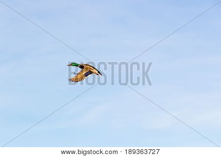 a male duck in flight over the pond