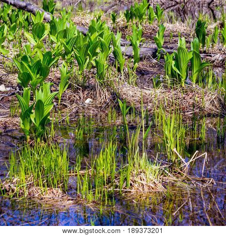 Spring grass germinates in the swamp on hillock