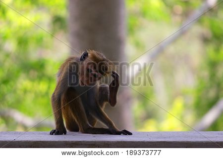 A Macaque Sits At Sunset