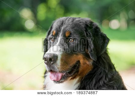 Bernese mountain dog portrait in summer day outdoors