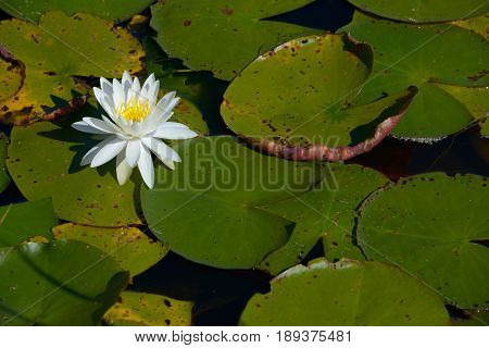 White Flower Blooming Lily pad in pond