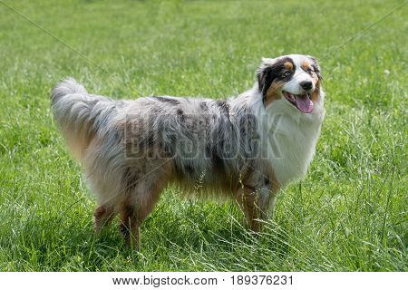 A young beautiful Australian Shepherd dog standing on the lawn while sticking its tongue out and looking happy and playful. Australian Shepherd dog is a breed known for being intelligent alert and loyal companion dogs