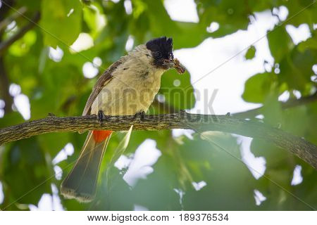 Image of bird on a branch on nature background. Animal. (Perched Red-vented Bulbul Pycnonotus cafer)