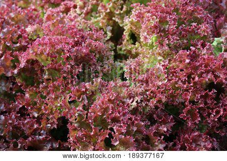 Fresh organic Lollo Rosso Lettuce in Vegetable Garden