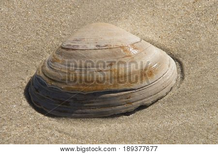 A seashell rests in the sand along the Indiand River Inlet in Indian River Delaware