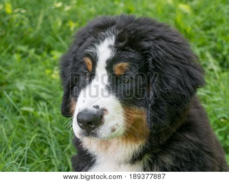 A young beautiful Bernese mountain dog standing on the lawn