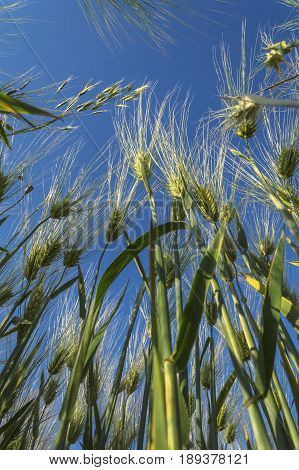 Green ears rye against the blue sky agricultural concept.