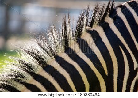 Mane in a zebra on nature as background