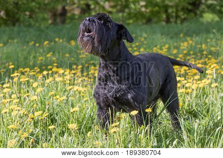 Side view of the howling Giant Black Schnauzer Dog standing at the blossoming dandelion meadow