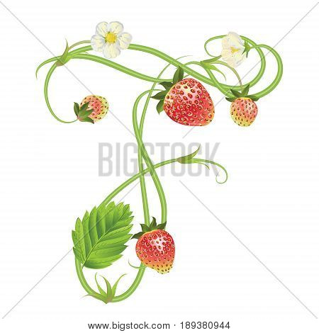 Letter F Strawberry font. Red Berry lettering alphabet. Vector realistic illustration ABC. Design for grocery, farmers market, tea, natural cosmetics, summer garden design element.