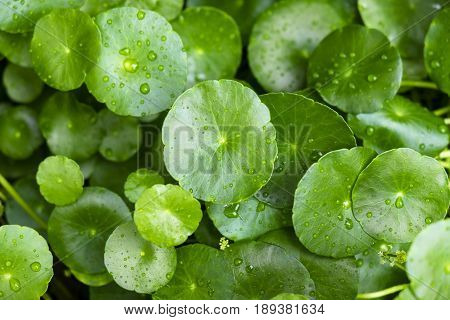 Small lotus leaves with water drops on it fresh and relax in the morning outdoor garden.