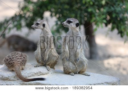 Meerkat or Suricate (Suricata suricatta) looking around